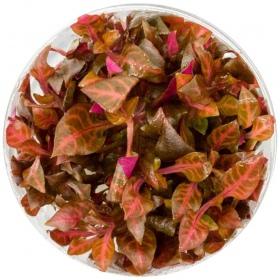 <b>Eco Plant - Alternanthera Rosaefolia - invitro mały kubek</b><br /><br /><p>Roślina o mocno czerwonych podłużnych liściach i wysokości 5 - 10cm. Jest to fantastyczna odmiana popularnej alternantery. Doskonale sprawdza się na pierwszy i drugi plan. Roślina o średnich wymaganiach.</p>