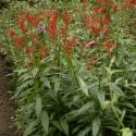 Eco Plant - Lobelia Mini - InVitro duży kubek