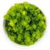 <b>Roślina Invitro kubek mini - micranthemum umbrosum</b><br /><br /><p>Roślina trawnikowa o szerokich, jak na niskopienne rośliny, liściach. Jest idealna dla początkujących. Tworzy gęsty zielony dywan. Wymaga częstego przycinania.</p>