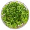 """<b>Eco Plant - Ranunculus papulentus - InVitro mały kubek</b><br /><br /><p>Roślina o unikalnym poszarpanym kształcie liści. """"Pełzająca"""" roślina szybko może porosnąć duży obszar podłoża. Wymaga silnego oświetlenia. Może być sadzona poza wodą, gdzie okresowo wypuszcza żółte kwiaty.</p>"""