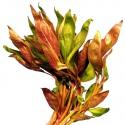 Roślina InVitro - Alternanthera Reineckii Lilacina