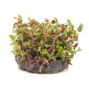 Eco Plant - Rotala Macandra - InVitro mały kubek