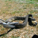Repti-zoo Snake Tong - metalowy chwytak do węży