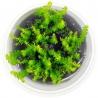 <b>Eco Plant - roślina invitro mini kubek - myriophyllum guyana</b><br /><br /><p>Silna roślina łodygowa o delikatnych w wyglądzie liściach przypominających ptasie pióro.Myriophyllum Guyana wolno rośnie przez co nadaje się do małych akwariów gdzie będzie idealną roślina na drugi lub trzeci plan. Dobrze odżywiana bujnie i gęsto rośnie. RodzinaMyriophyllumw naturze występuje na całej kuli ziemskiej porastając wody stojące i bagna.</p>