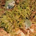 Repti-Zoo Chile's Sphagnum moss - mech torowiec 4,5l