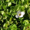Eco Plant - Bacopa Australis - InVitro duży kubek